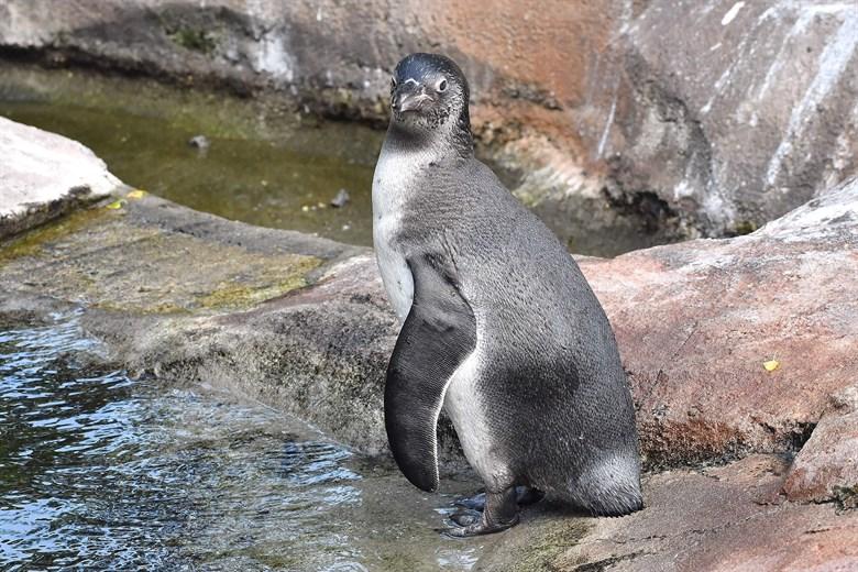 Zweites Pinguinküken im Polarium geschlüpft