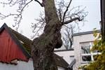 Munchs Birnbaum in Warnemünde umgestürzt