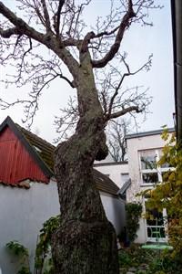 Munchs Birnbaum in Warnemünde umgestürzt (Foto: Archiv)