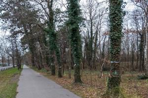 Geringer Stammumfang? Bei den zu fällenden Bäumen handelt es sich eher um die stärksten Bäume im Küstenwaldstreifen.