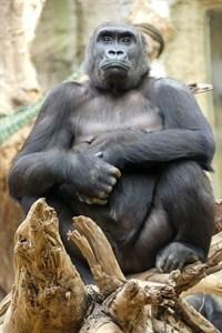 Gorilladame Zola ist trächtig (Foto: Zoo Rostock/Kerstin Genilke)