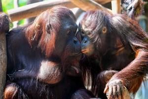 Die Orang-Utans Sunda und Surya (Foto: Zoo Rostock/Joachim Kloock)