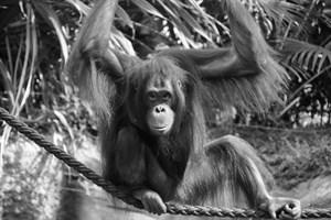Orang-Utan-Mutter Dinda ist heute Nacht verstorben (Foto: Zoo Rostock/Maria Seemann)