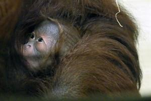 Orang-Utan-Baby im Zoo Rostock geboren (Foto: Zoo Rostock/Kerstin Genilke)