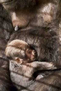 Kurz nach der Geburt gelang Tierpfleger Tobias Pollmer das Kuschelfoto vom ersten Gorillababy im Zoo Rostock. (Foto: Zoo Rostock/Tobias Pollmer)