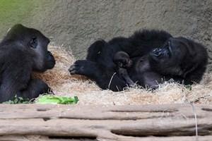 Yene mit ihrem Baby im Darwineum. Neugierig beäugt Eyenga (li.) den Neuankömmling (Foto: Zoo Rostock/Carina Braun)