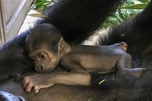 Gorilla-Baby im Rostocker Zoo (Foto: Zoo Rostock/Kerstin Genilke)