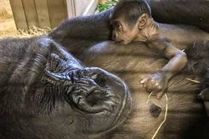 Gorilla-Dame Zola mit ihrem Nachwuchs (Foto: Zoo Rostock/Kerstin Genilke)