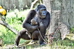 Gorilladame Yene mit Kesha (Foto: Zoo Rostock/Joachim Kloock)