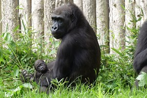 Gorilladame Zola mit Moyo (Foto: Zoo Rostock/Kerstin Genilke)