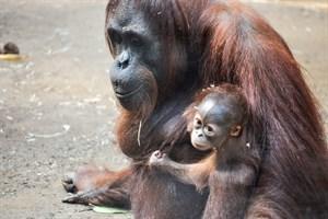 Orang-Utan-Mama Sunda mit ihrem Baby Bayu (Foto: Zoo Rostock/Maria Seemann)