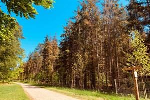 Fichten in der Rostocker Heide - auch im Stadtgebiet leiden die Bäume unter der Hitze und Trockenheit der letzten Jahre (Foto: Stadtforstamt)