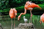 Kubaflamingo-Nachwuchs im Zoo Rostock