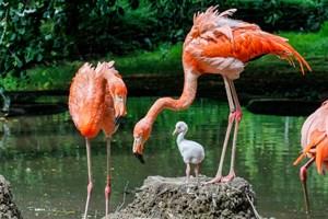 Kubaflamingo-Nachwuchs im Zoo Rostock (Zoo Rostock/Braun)