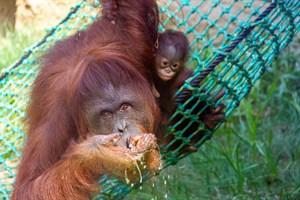 Orang-Utan-Mädchen Surya (hier bei ihrer Taufe) ist aus dem Zoo Rostock in den Tiergarten Schönbrunn in Wien gezogen (Foto: Archiv)