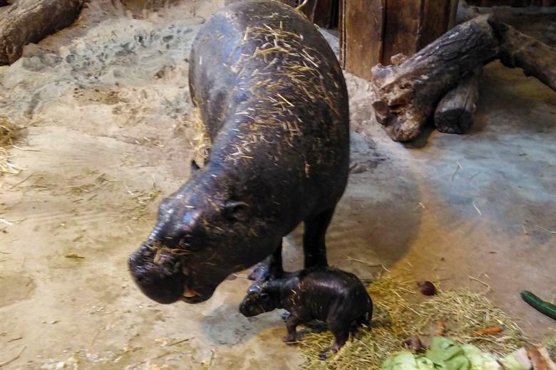 Nachwuchs bei den Zwergflusspferden im Zoo Rostock