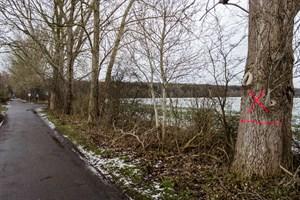Pappeln im Waldweg Diedrichshagen sollen (noch) nicht gefällt werden