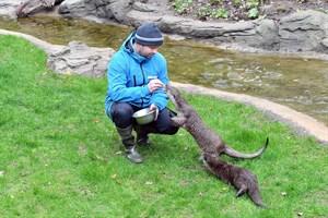 Tierpfleger Lars Purbst hat schon ein gutes Verhältnis zu den beiden munteren schwedischen Fischottern aufgebaut. Bald wird das dritte Tier aus der Otterfamilie erwartet. (Foto: Zoo Rostock/Joachim Kloock)